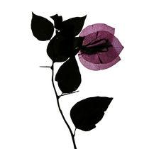 Blüte magenta durchleuchtet von Iris Kaschl
