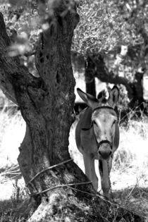 Esel im Olivenhain von Thomas Frey