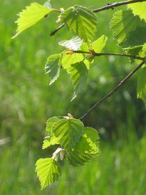 Frühling, Birkenblätter von Nils Grund