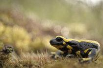 Salamandra Salamandra von Danijel Vrgoc