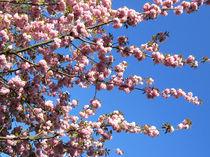 Frühlingskirschen by amelierauschenbach