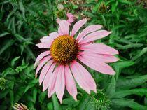 Echinacea von Susanne Klein
