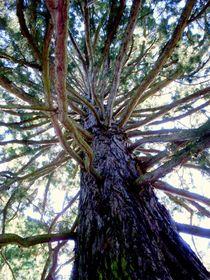 Mammutbaum von Susanne Klein