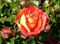 strahlende Rose von Susanne Klein
