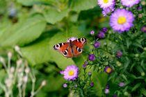 wunderschöner Schmetterling von Susanne Klein