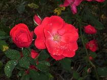 schöne Rosen von Susanne Klein