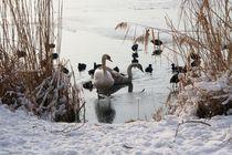 Schwäne im Winter von Susanne Klein
