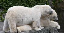 Liebe unter Eisbären von Susanne Klein