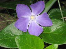 Blume violett von ksteffen
