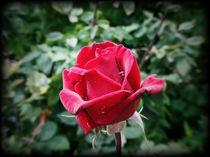 Rose mit Wasser by Thomas Proschek