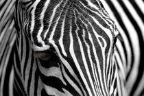 Zebra von Daniel Kühne