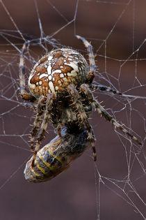 Spinne mit Beute von Daniel Kühne
