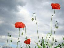 Mohnblumen vor Regenschauer von Isabell Krauße