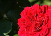Rote Rose - Symbol der Liebe by Juana Kreßner