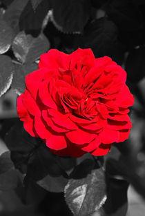 Nostalgie Rose von Juana Kreßner