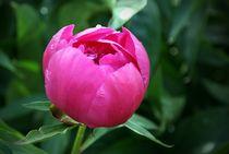 Aufgehende Pfingstrosenblüte von Juana Kreßner