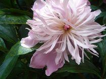 Rosafarbene Pfingstrose in Vollendung von Juana Kreßner
