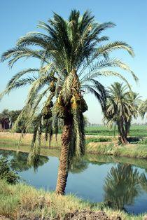 Phoenix Dattelpalme in Ägypten 2009 von Juana Kreßner