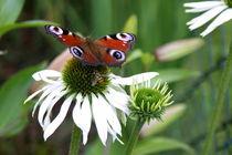 Echinaceapflanze hat Besuch vom Tagpfauenauge by Juana Kreßner