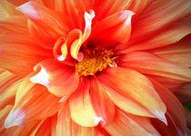 Feuerfarbene Dahlienblüte von Juana Kreßner