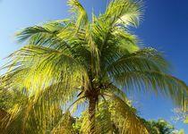 Kokospalme auf Haiti von Juana Kreßner