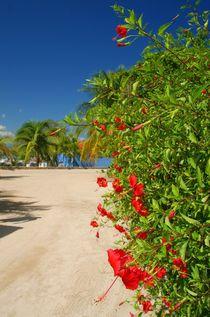 rote Hibiskusblüten auf Hawaii by Juana Kreßner