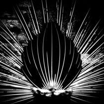 Pfau beim Radschlag in schwarzweiß von Juana Kreßner