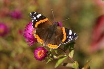 Schmetterling Admiral by Juana Kreßner