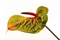 Anthurium by piri