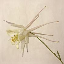 White Beauty von piri