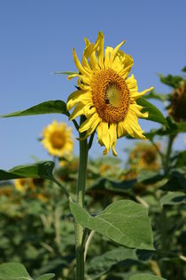 Sonnenblume by Katrin Lübeck