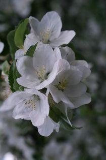 Apfelblüte by Katrin Lübeck