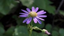 Pericallis tussilaginis mit Grasshopper by wittery