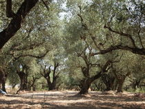 Olivetree von wittery