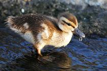 Duckling, Upper Newport Bay von Eye in Hand Gallery