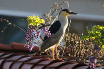 Black-Crowned Heron, Newport Beach von Eye in Hand Gallery