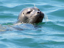 Seal off Newport Coast by Eye in Hand Gallery