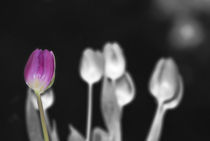 Tulpe by Gerrit Harasin