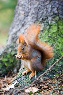 Eichhörnchen von Ulf Jungjohann