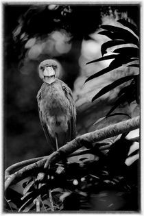 Boat-billed heron by Gregory Basco
