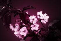 Wild Cherry von Oliver Lege