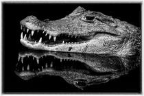 Spectacled caiman von Gregory Basco
