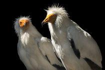 Egyptian Vulture von elfarol