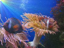 Clownfische von Susanne Winkels