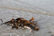 Meeresblume von Diana Reimansteiner
