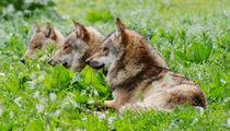 Ruhende Wölfe von Cornelius Unbehaun