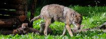 Wolfsmutter mit Kindern von Cornelius Unbehaun