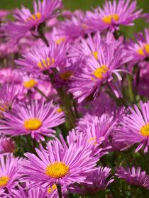 pink flowers von Katja Wegner