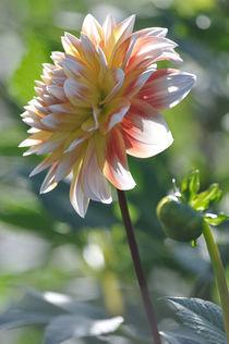 Dahlie in weiß, gelb, rosa, orange (Hochformat) von Doris Krüger