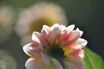 Dahlie mit zarten Blättern in weiß, rosa und gelb by Doris Krüger